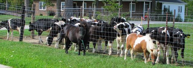 IMG_5488_Cows_Watching_Ponies_