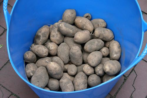 fresh dug potatoes 023