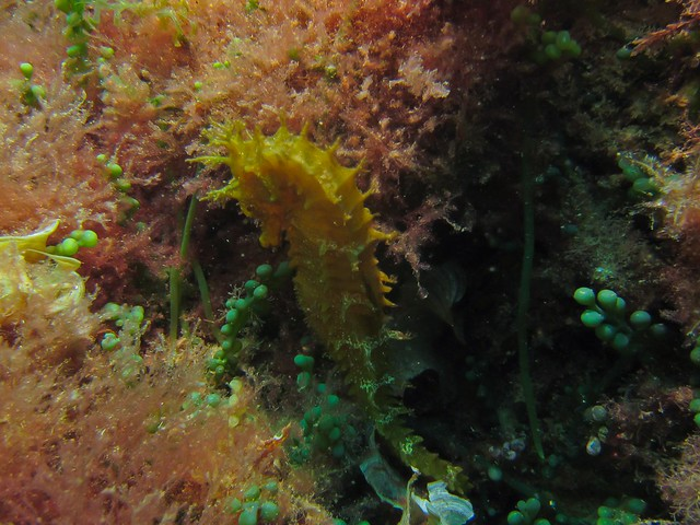 Caballito de mar I