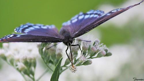 flower butterfly pa harrisburg wildwoodlake canoneosrebelt2i shannonroseoshea adifferentperspectiveofabutterfly