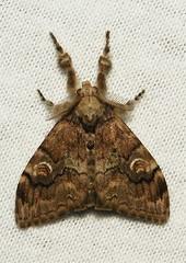 Tussock Moth (Orgyia sp, Lymantriinae)