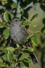 Gray Catbird_0301.jpg by Mully410 * Images