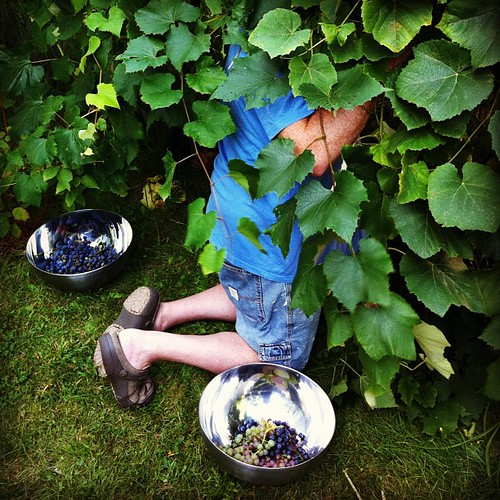harvesting the grapes #organicgarden #urbangarden #maine #heirloom