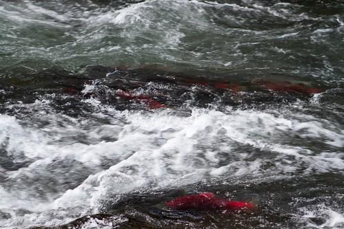 Salmon on Kenai Peninsula