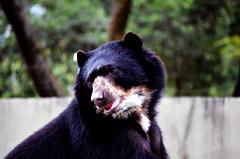 Urso-de-óculos