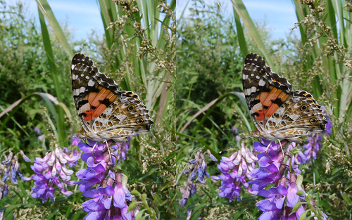 Vanessa cardui, stereo parallel view