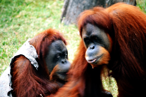 Funny gorilla, Orangotango