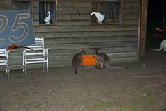 Rosmalen - Wallabys