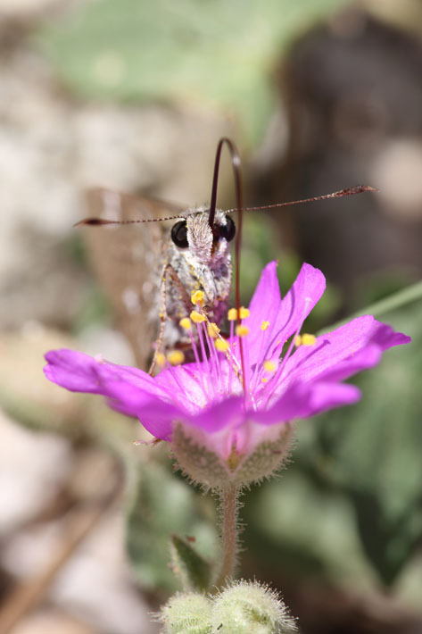090312_02_skip_arizonaPowderedSkipper