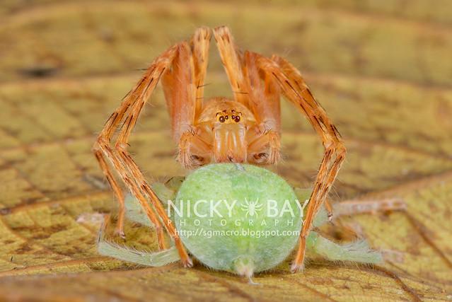 Huntsman Spiders (Sparassidae) - DSC_3689
