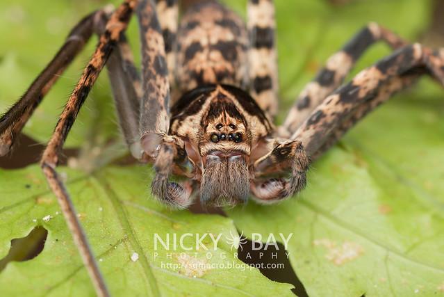 Huntsman Spider (Sparassidae) - DSC_2753