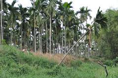 檳榔樹對地下水補注極為不利,根系抓地力不夠也造成水土流失,河道兩旁隨處可見倒塌的檳榔樹。