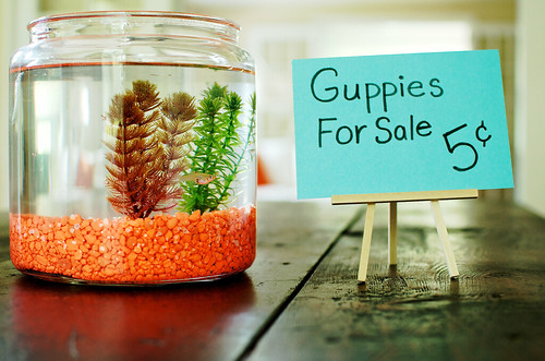 Guppies for sale.