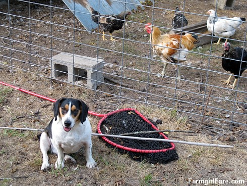 Beagle Bert, chicken whisperer (1) - FarmgirlFare.com