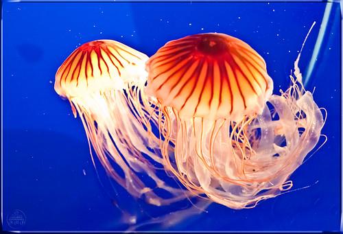 0074 Jellyfish