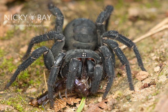 Black Armoured Trapdoor Spider (Liphistius malayanus) - DSC_6246