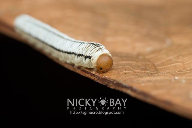Sawfly larva (Symphyta) - DSC_5836