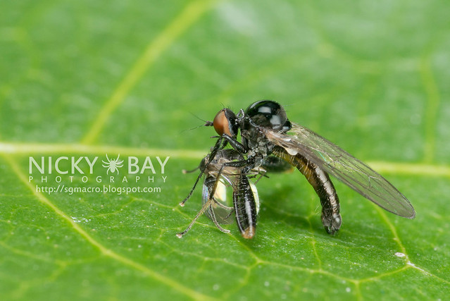 Dagger Fly (Empididae) - DSC_5264