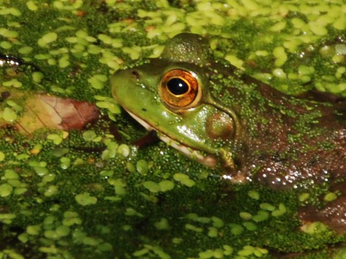 summer green nature pond amphibian frog september duckweed thegalaxy glenwoodgardens vernalpond mygearandme jennypansing