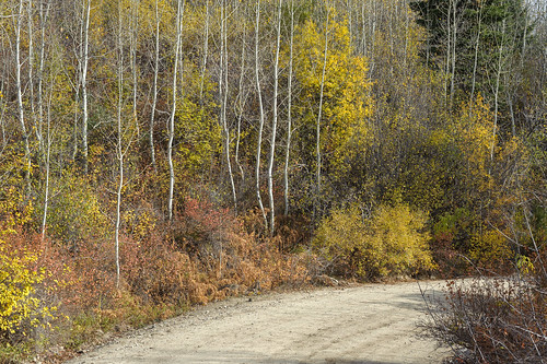 autumn tree idaho dirtroad aspen gravelroad lickcreekroad