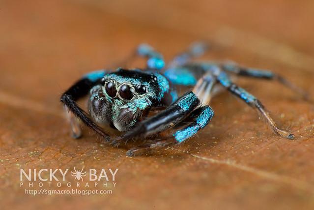 Fighting Spider (Thiania bhamoensis) - DSC_9527
