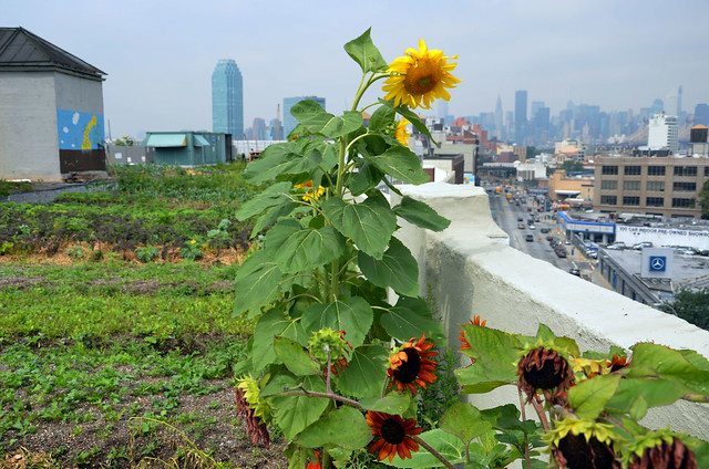 A seven-story industrial building in Long Island City is home to Brooklyn Grange, a working, one-acre farm that produces 14,000 pounds of produce a year. Photo by Tara Thayer.