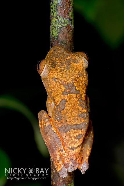 Harlequin Flying Frog (Rhacophorus pardalis) - DSC_8926