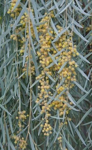 Acacia pendula LG 2006-0336 A 9-30-12 4514 lo-res
