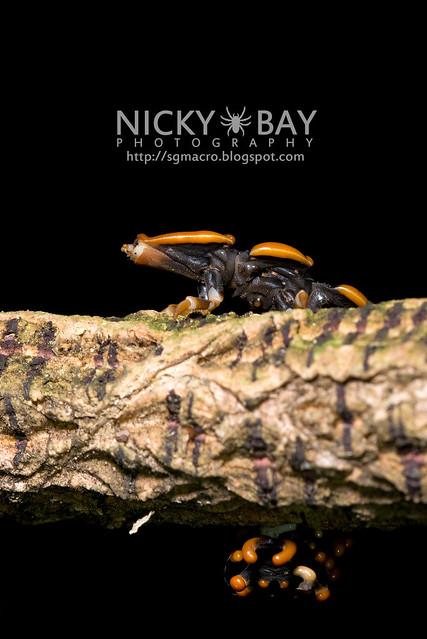 Trilobite Beetle (Duliticola sp.) - DSC_7466