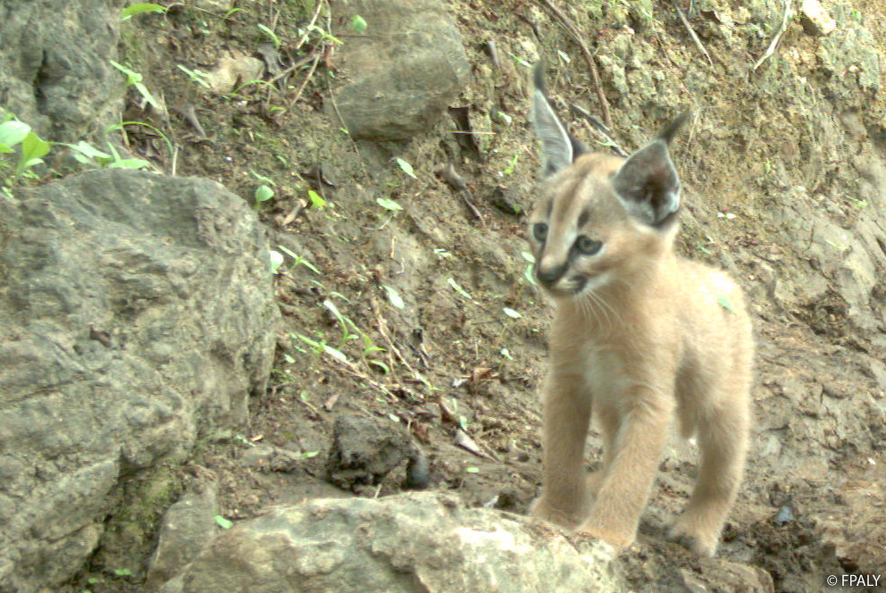 Arabian caracal kitten in Yemen