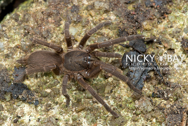 Tarantula (Phlogiellus inermis) - DSC_6955