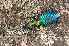 Ground Beetle (Carabidae) - DSC_6422