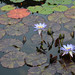 Tropical Water-Lily