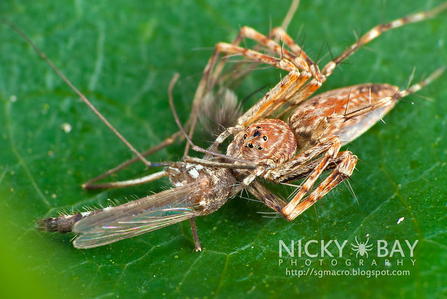 Lynx Spider (Oxyopidae) - DSC_4546
