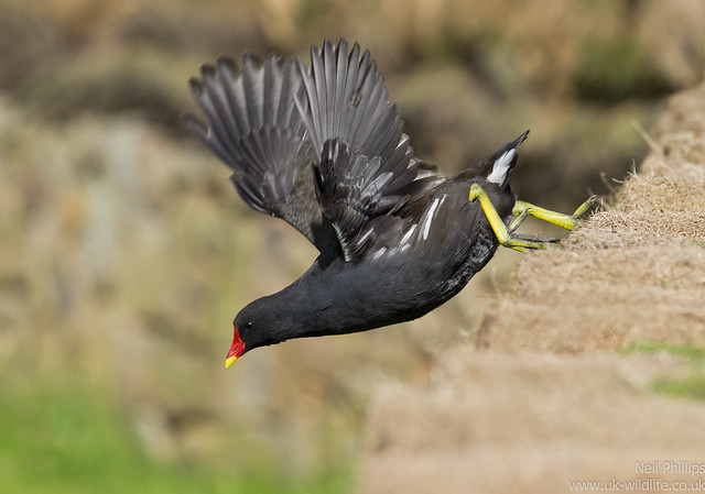moorhen jumps off wall 2