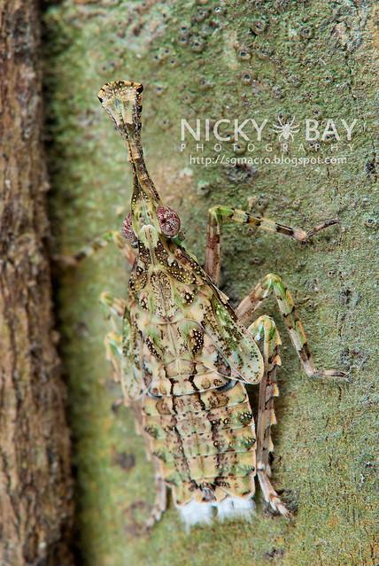Planthopper (Fulgoridae) - DSC_2964