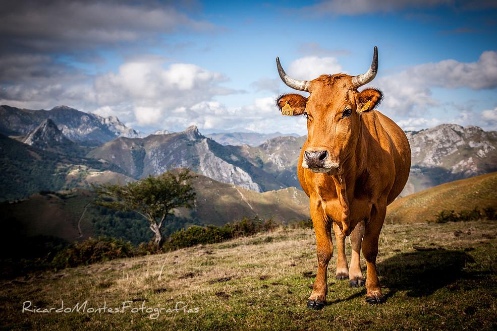 Wapas Vacas I