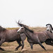 Wild Horses Roosevelt National Park by overthemoon3