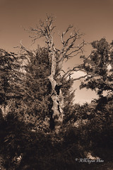 Dead Oak In Sepia
