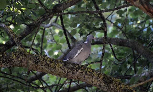 Wood Pigeon  (28)