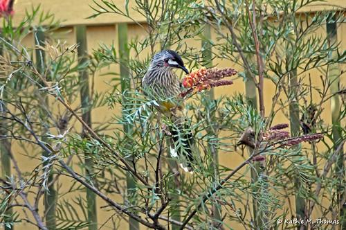 Wattle Bird and Grevillea