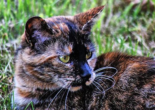 Georgia The Tortie Cat