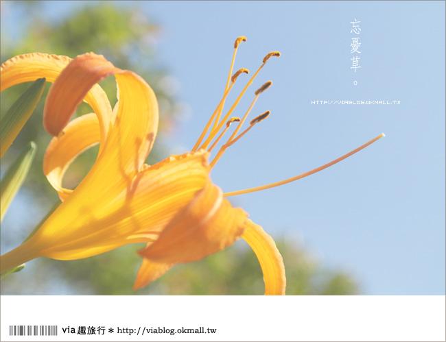 【日月潭金針花2012】南投金針花季~頭社金針花!黃澄澄的盛開中!20