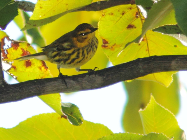 Cape May Warbler 20120908