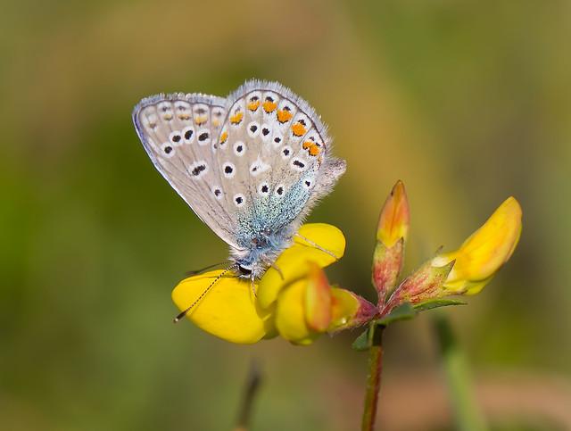 Silver-studded Blue, heideblauwtje  (Plebejus argus)