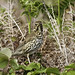 Song Thrush (Colin Brown)