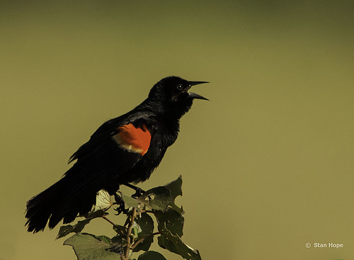 Red Winged Blackbird............View Large by stan hope