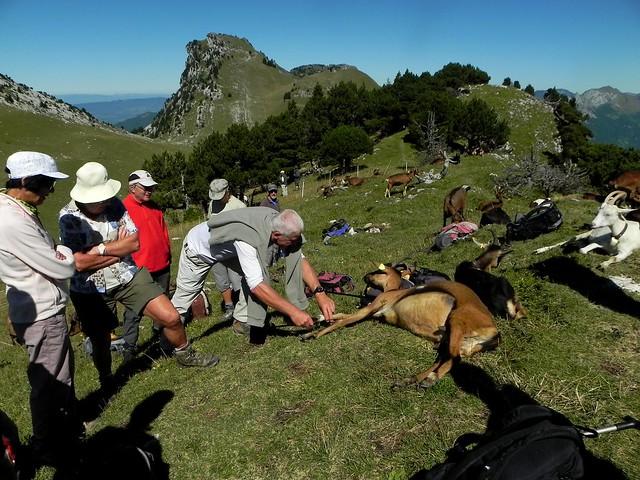 Une chèvre s'est installée sur le sac à dos de Jo en guise d'oreiller (1)