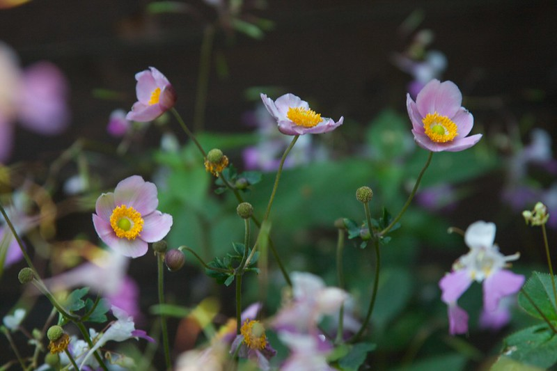 anemone september charm  2151