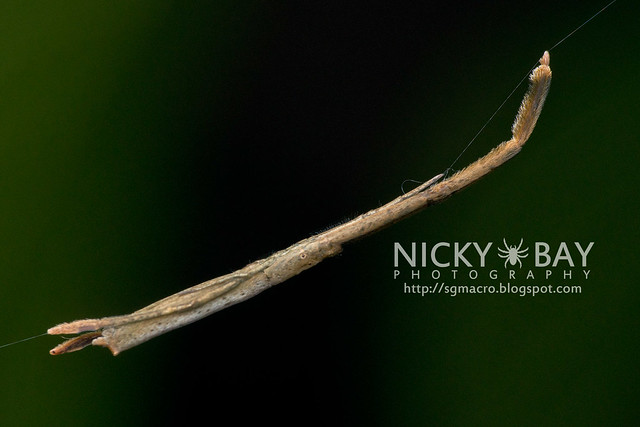 Twig-like feather-legged spider (Miagrammopes sp.) - DSC_5237